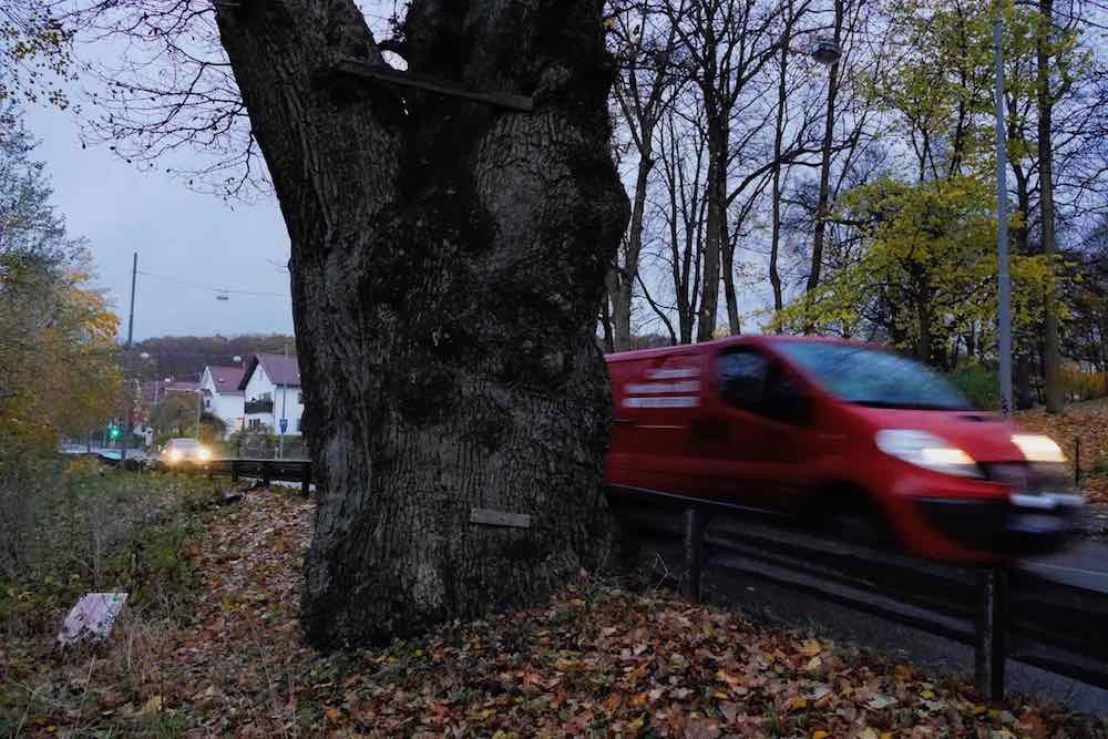 Unikt monumentalträd i Göteborg: Tung trafik dånar förbi Göteborgs största ek på några centimeters avstånd. Foto: Chris Ceder