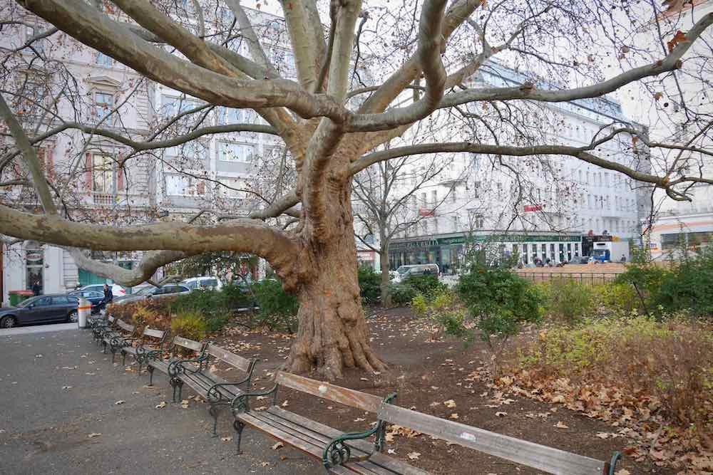 Naturminnesmärkt orientalisk platan i Wien. Trädet är bara 88 år gammalt, ett barn jämfört med den gamla eken på Delsjövägen. Foto: Chris Ceder