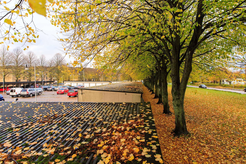 hotad och biotopskyddad lindallé i Göteborg